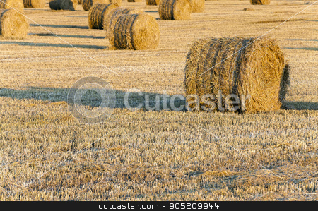 stack of straw in the field   stock photo,   in a stack of twisted straw remains in the field after harvesting cereal by ihar leichonak