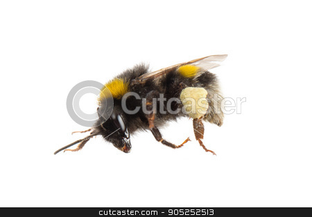 Bee, isolated on white stock photo, Small bee, isolated on a white background by michaklootwijk