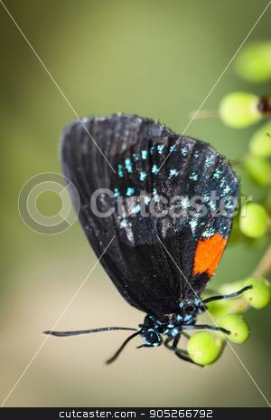 Eumaeus Atala stock photo, A colorful Eumaeus Atala butterfly sitting on green leaves. by Henrik Lehnerer