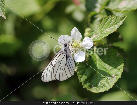 White Butterfly flower summer stock photo, White Butterfly Pieris brassicae on a flower, summer by Olga Ovchinnikova
