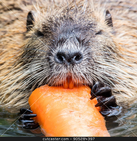 Coypu is eating stock photo, Coypu is eating, selective focus on the eye by michaklootwijk
