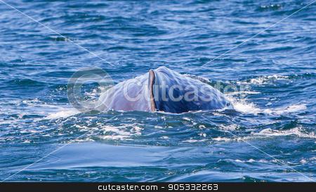 Large Sperm Whale near Iceland stock photo, Large Sperm Whale near Iceland (Atlantic ocean) by michaklootwijk