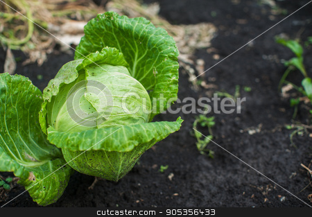 Fresh harvesting cabbage stock photo, Fresh harvesting cabbage on the ground by olinchuk