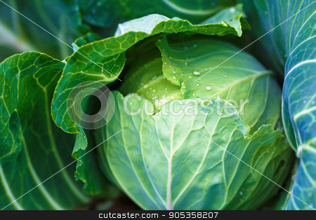 Close-up of cabbage stock photo, Closeup of a head of cabbage with green leaves in the garden. Shallow depth of field. Selective focus. by Veresovich