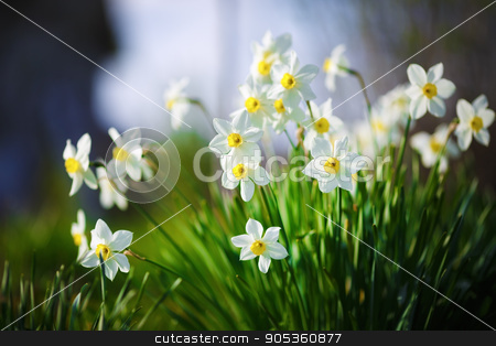 Blooming white narcissus stock photo, Blooming daffodils. Flowering white narcissus at springtime. Spring flowers. Shallow depth of field. Selective focus. by Veresovich