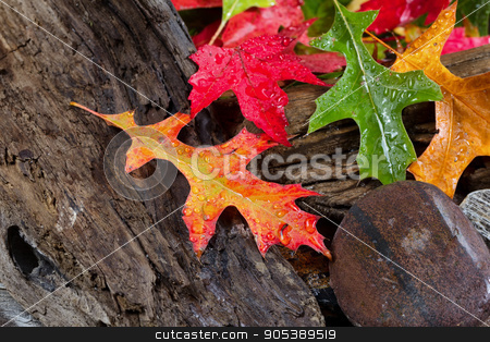 Wet Vibrant Autumn leaves on driftwood  stock photo, Wet bright autumn leaves on aged driftwood by tab62