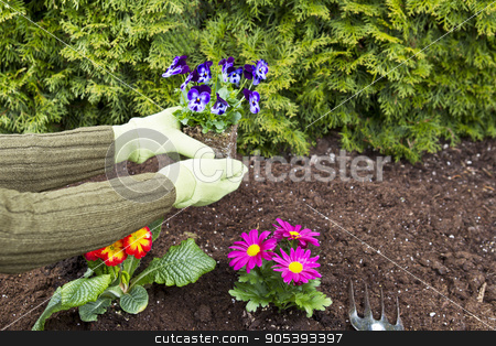 Planting Flowers stock photo, Two hands, wearing gloves, planting flowers in flowerbed with green bushes in background by tab62