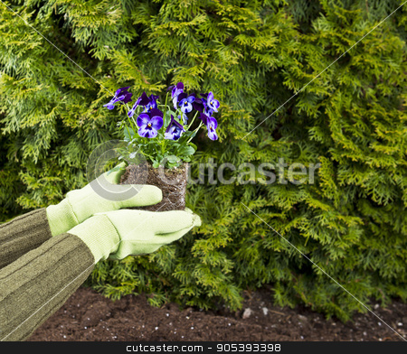 Planting Purple Flowers  stock photo, Hands, wearing gloves, hold purple flowers in flowerbed with green bushes in background by tab62