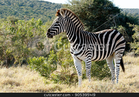 Beautiful Burchell's Zebra standing in a field stock photo, Black and White Burchell's Zebra standing in a field with green bush and hill in the background. by Mark