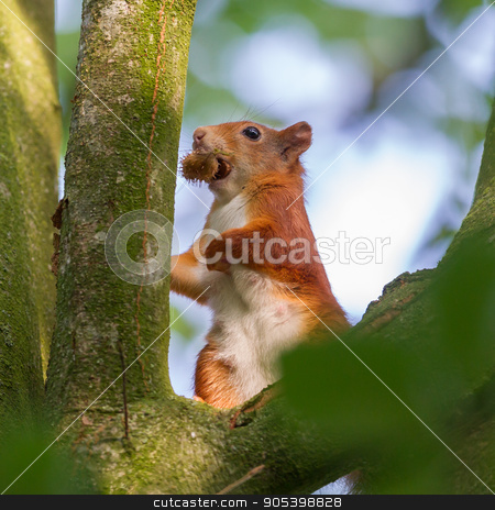 Squirrel on a branch spruce eats nuts stock photo, Squirrel eats nuts by michaklootwijk
