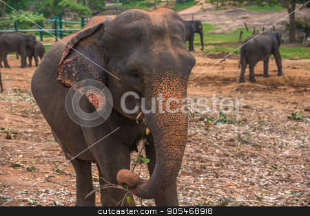 Sri lanka: captive elephants in Pinnawala stock photo, Sri lanka: group of elephants in Pinnawala, the largest herd of captive elephants in the world by krivinis