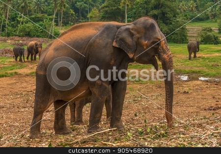 Sri lanka: captive elephants in Pinnawala stock photo, Sri lanka: group of elephants in Pinnawala, the largest herd of captive elephants in the world by krivinis