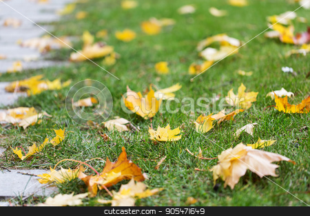 fallen autumn maple leaves on green grass stock photo, season, nature and environment concept - fallen autumn maple leaves on green grass by Syda Productions