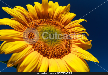Sunflower close up against the blue sky stock photo, Sunflower close-up. Sunflower on a sunny day on a background of the dark blue sky by fogen