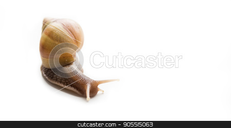 Big snail Achatina stock photo, Giant African snail, Achatina, on a white background by Liubov Nazarova
