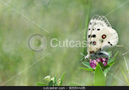 Summer natural background with butterfly stock photo, Summer natural background with butterfly on the clover flower by Galina Bondarenko