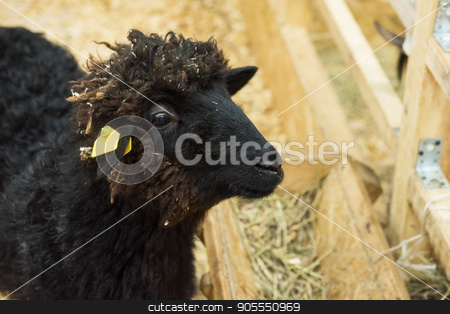 Black sheep at farm stock photo, Black sheep at the farm by olinchuk