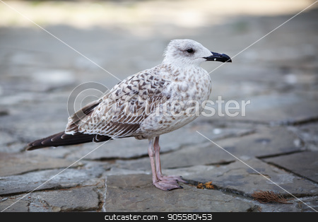 Gull stands on pavement stock photo, Selective focus. by Veresovich