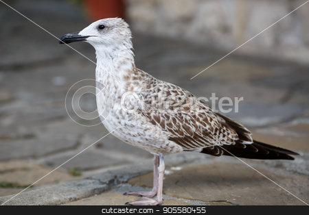 Seagull on the sidewalk stock photo, Selective focus. by Veresovich
