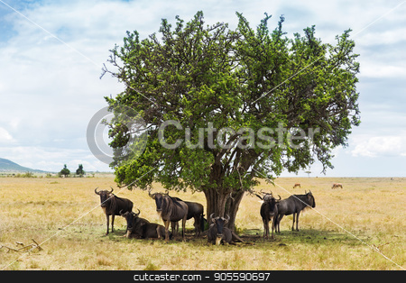 wildebeests grazing in savannah at africa stock photo, animal, nature and wildlife concept - wildebeests grazing under tree in maasai mara national reserve savannah at africa by Syda Productions