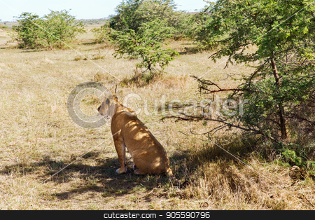 lioness hunting in savannah at africa stock photo, animal, nature and wildlife concept - lioness hunting in maasai mara national reserve savannah at africa by Syda Productions
