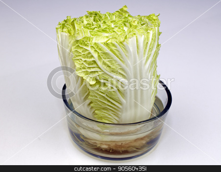 Napa Cabbage Growing in a Bowl of Water stock photo, One head of Napa cabbage growing in a transparent bowl of water upright on a white quartz kitchen countertop close-up. Growing Napa cabbage in a bowl of water. by Lee Serenethos