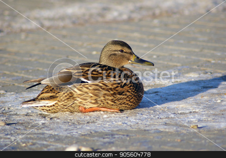 Duck mallard sits stock photo, Female mallard duck sits on the sidewalk. Selective focus. by Veresovich