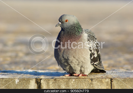 Dove on the sidewalk stock photo, Urban pigeon. Dove sits on the sidewalk. Selective focus. by Veresovich