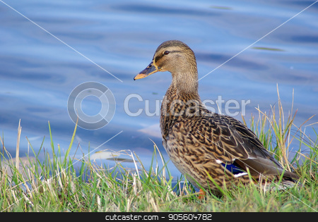 Duck mallard on shore stock photo, Female mallard duck on shore against blue water background. Selective focus. by Veresovich
