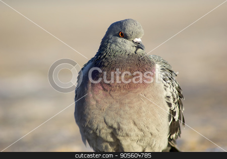 Beautiful pigeon outdoors stock photo, Beautiful urban pigeon outdoors. Closeup of dove. by Veresovich