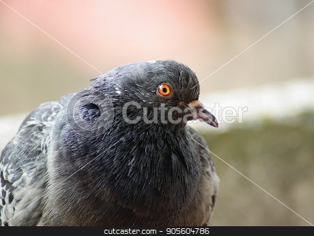 Closeup of pigeon stock photo, Closeup of pigeon. Urban dove. Selective focus.Shallow depth of field. Selective focus. by Veresovich