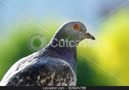 Pigeon on green background stock photo, Beautiful urban pigeon on green bokeh background. One dove outdoors. Selective focus. by Veresovich
