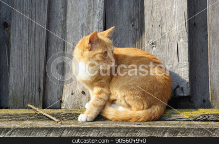 Cat and wood fence stock photo, Ginger tabby cat sitting on wood fence background. by Veresovich