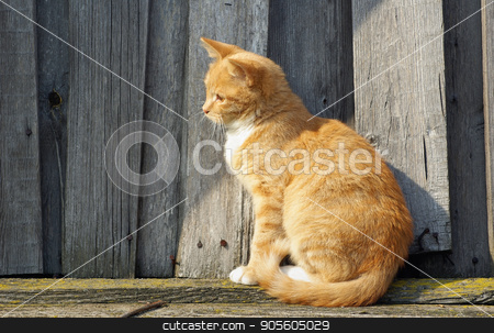 Ginger cat sitting stock photo, Ginger tabby cat sitting on wooden background. by Veresovich