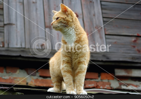 Cat on the roof stock photo, Ginger tabby cat sitting on the roof of an old wooden house. Selective focus. by Veresovich