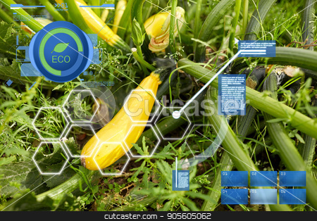 squashes on summer garden bed stock photo, agriculture, gardening and organic farming concept - squashes on summer garden bed by Syda Productions