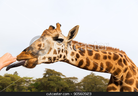 hand feeding giraffe in africa stock photo, animal, nature and wildlife concept - hand feeding giraffe in africa by Syda Productions