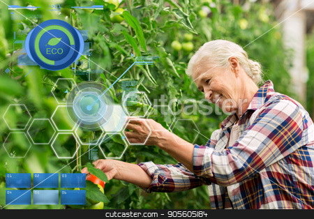 senior woman growing tomatoes at farm greenhouse stock photo, organic farming, gardening, agriculture, old age and people concept - senior man or farmer growing tomatoes at greenhouse on farm by Syda Productions