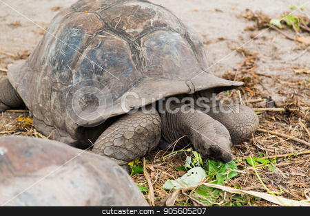 giant tortoises outdoors on seychelles stock photo, animals, fauna and nature concept - giant tortoises outdoors on seychelles by Syda Productions