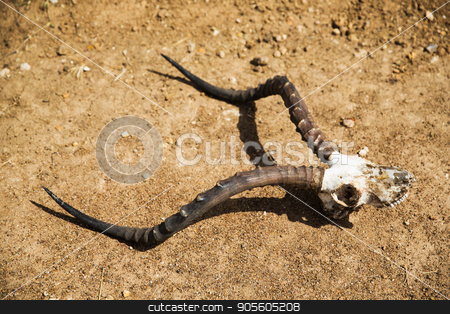 impala antelope skull with horns on ground stock photo, animal corpse, nature and wildlife concept - impala antelope skull with horns on ground by Syda Productions