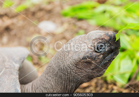 close up of giant tortoise outdoors stock photo, animals, fauna and nature concept - close up of giant tortoise outdoors by Syda Productions