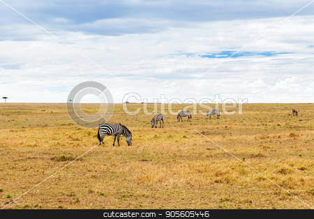 zebras grazing in savannah at africa stock photo, animal, nature and wildlife concept - zebras grazing in maasai mara national reserve savannah at africa by Syda Productions