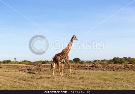 giraffe walking along savannah at africa stock photo, animal, nature and wildlife concept - giraffe walking along maasai mara national reserve savannah at africa by Syda Productions