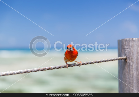 red fody sitting on rope at seaside stock photo, birds and wildlife concept - red fody sitting on rope at seaside by Syda Productions