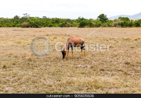topi antelope grazing in savannah at africa stock photo, animal, nature and wildlife concept - topi antelope grazing in maasai mara national reserve savannah at africa by Syda Productions