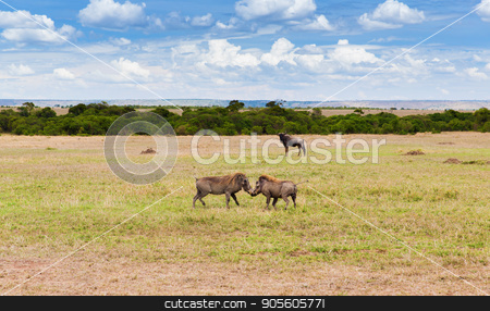 warthogs fighting in savannah at africa stock photo, animal, nature and wildlife concept - warthogs fighting in maasai mara national reserve savannah at africa by Syda Productions