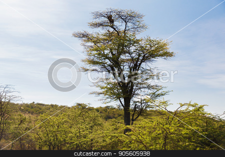 leopard on top of tree in savannah at africa stock photo, animal, nature and wildlife concept - leopard on top of tree in savannah at africa by Syda Productions