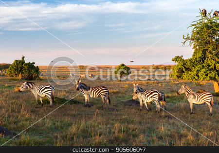 zebras herd grazing in savannah at africa stock photo, animal, nature and wildlife concept - zebras herd grazing in maasai mara national reserve savannah at africa by Syda Productions