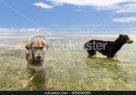 dogs in sea or indian ocean water on seychelles stock photo, animal and nature concept - wild dogs in sea or indian ocean water on seychelles beach by Syda Productions