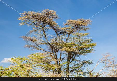 acacia trees in savannah at africa stock photo, nature, environment and wildlife concept - acacia trees in maasai mara national reserve savannah at africa by Syda Productions